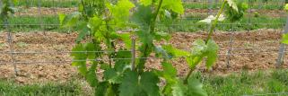 Bad Bergzabern, Weinrebe kurz vor der Blüte