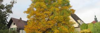 Trotz fallender Nacht Temperaturen  erfreut sich die Region am Goldenen Herbst