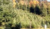 Weihnachtsbaum Plantage bei Adelberg